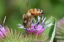 Bee - Demorestville, Ontario