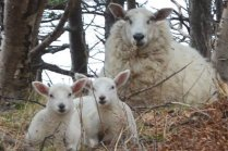 Flock of Sheep at Gros Morne - Newfoundland