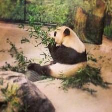 Da Mao eating bamboo.