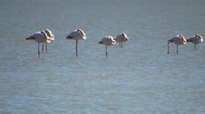 The Flamingos by the Salinas