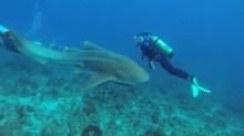 James filmed Danielle swimming with a leopard shark at Julian Rocks, Byron Bay ©James Sherwood - Bluebottle Films