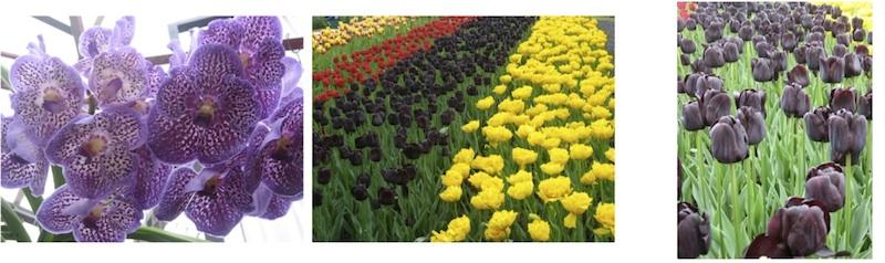 Anggrek n tulips