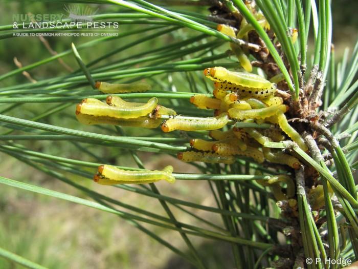 "<a href=""/clm/species/neodiprion_lecontei""><em>Neodiprion lecontei</em></a> (Redhead Pine Sawfly) larvae on pine."