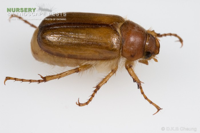 "<a href=""/clm/species/amphimallon_majalis""><em>Amphimallon majalis</em></a> (European Chafer) adult."