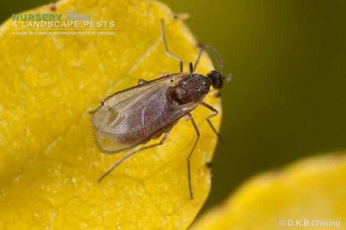 """<a href=""""/clm/species/dasyneura_gleditschiae""""><em>Dasyneura gleditschiae</em></a> (Honey Locust Pod Gall Midge) adult."""