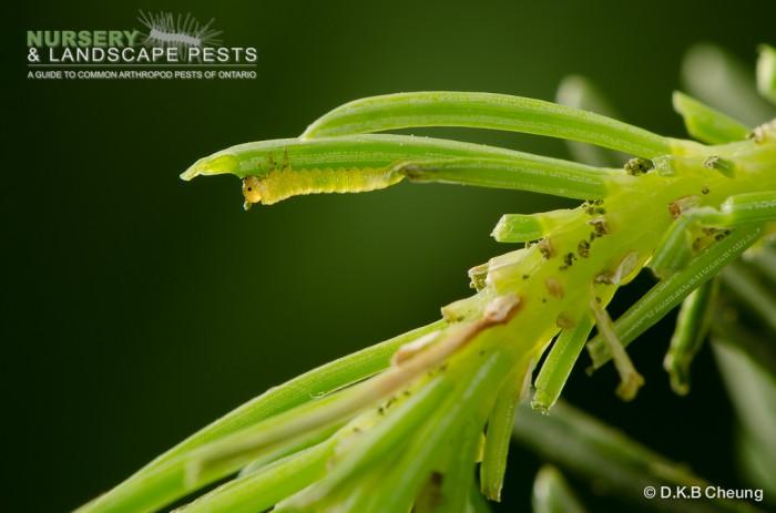 "<a href=""/clm/species/pikonema_alaskensis""><em>Pikonema alaskensis</em></a> (Yellowheaded Spruce Sawfly) early instar."