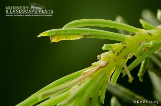 "<a href=""/clm/species/pikonema_alaskensis""><em>Pikonema alaskensis</em></a> (Yellowheaded Spruce Sawfly) early instar."