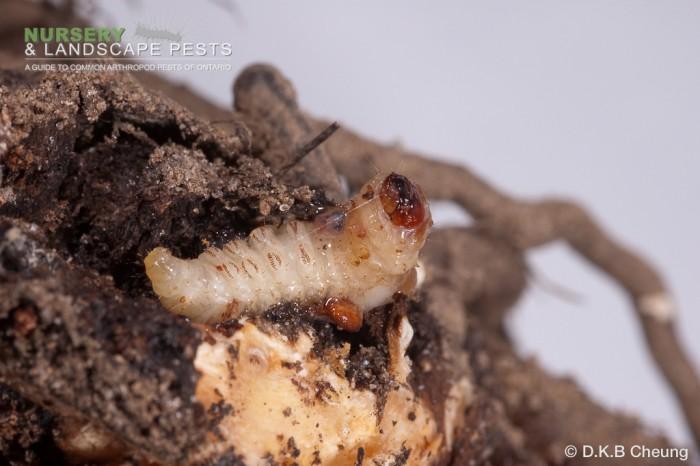 "<a href=""/clm/species/synanthedon_exitiosa""><em>Synanthedon exitiosa</em></a> (Peachtree Borer) larva."