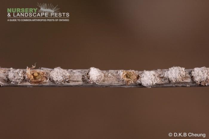 """<a href=""""/clm/species/pyrrhalta_viburnicola""""><em>Pyrrhalta viburnicola</em></a> (Viburnum Leaf Beetle) eggs on viburnum."""