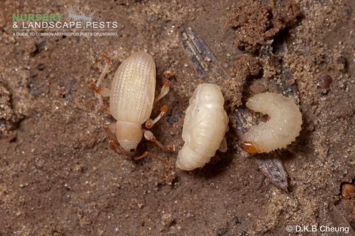 """<a href=""""/clm/species/otiorhynchus_sulcatus""""><em>Otiorhynchus sulcatus</em></a> (Black Vine Weevil) adult, pupa and larva."""