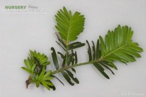 "<a href=""/clm/species/otiorhynchus_sulcatus""><em>Otiorhynchus sulcatus</em></a> (Black Vine Weevil) adult damage on yew."