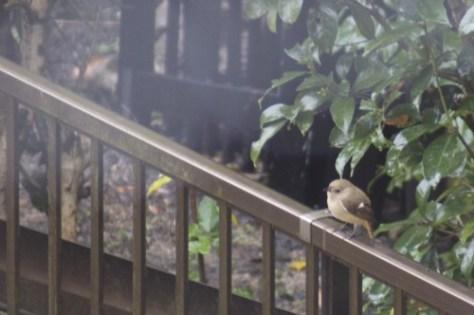 雨に耐え、さえずるジョウビタキの雌