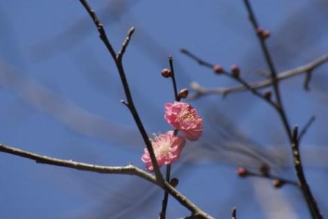 もう梅が咲いている