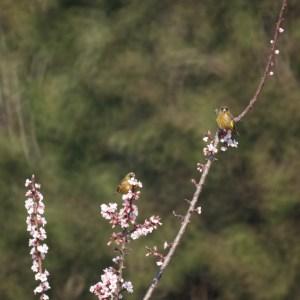 梅とカワラヒワ
