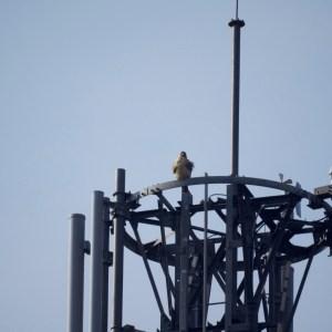 塔の上から辺りを見回すノスリ