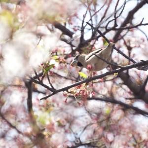 桜の花をついばむシメ