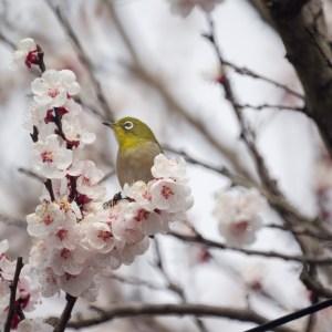 桜を楽しむメジロ