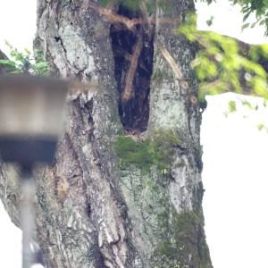 洞で眠るアオバズク