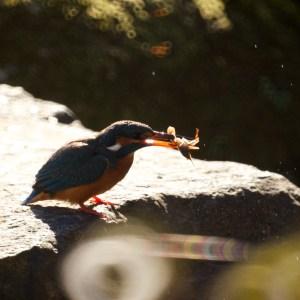 エビを岩に叩きつけようとするカワセミ♀