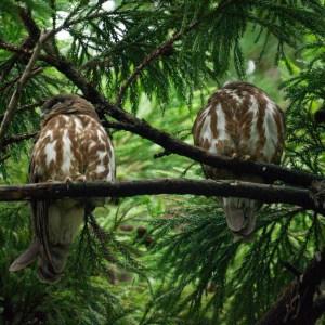 アオバズクの親鳥