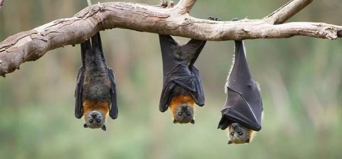 خفافيش