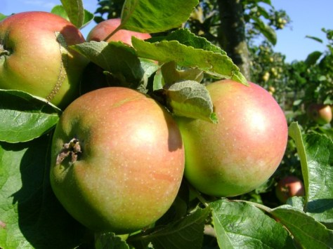 Malus domestica 'Brabant Bellefleur', laagstam (Brabant Bellefleur appel, laagstam appelboom wortelgoed)