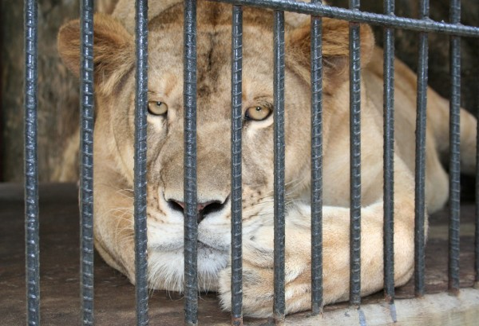 Emergency Welfare Assessment At Surabaya Zoo Indonesia World Animal Protection