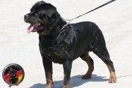 dkv-rottweilers-rottweiler-puppies-for-sale-egorka-s-berega-turi