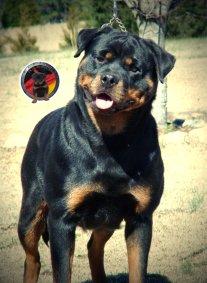 dkv-rottweilers-rottweiler-puppies-for-sale-ivy-von-der-korperkraft-12
