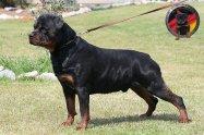 dkv-rottweilers-rottweiler-puppies-for-sale-jackamo-von-der-korperkraft
