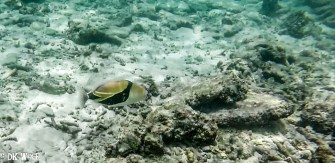 Reef/ Wedge-tail Triggerfish (Rhinecanthus rectangulus)
