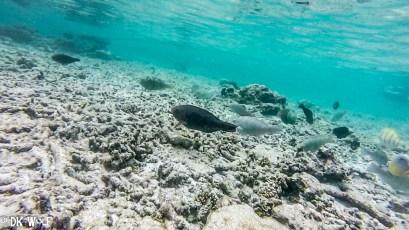 Ember Parrotfish (Scarus rubroviolaceus) female