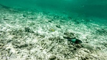 Right: Ember Parrotfish (Scarus rubroviolaceus) intermediate phase, Left: Two Barred Rabbitfish/ Spinefoot (Siganus virgatus)