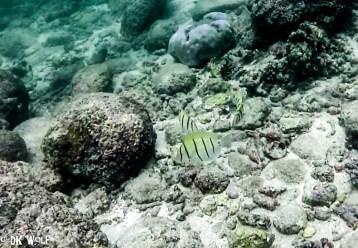 Convict Surgeonfish (Acanthurus triostegus