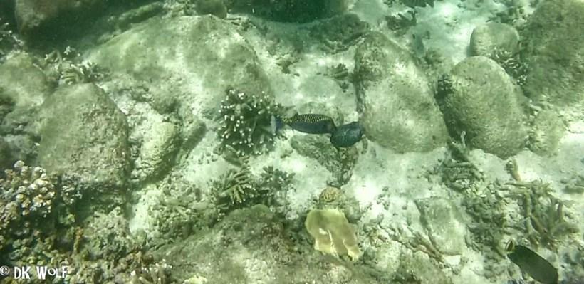 White-spotted Boxfish pair (Ostracion meleagris)