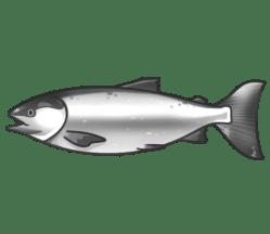 p388_salmon