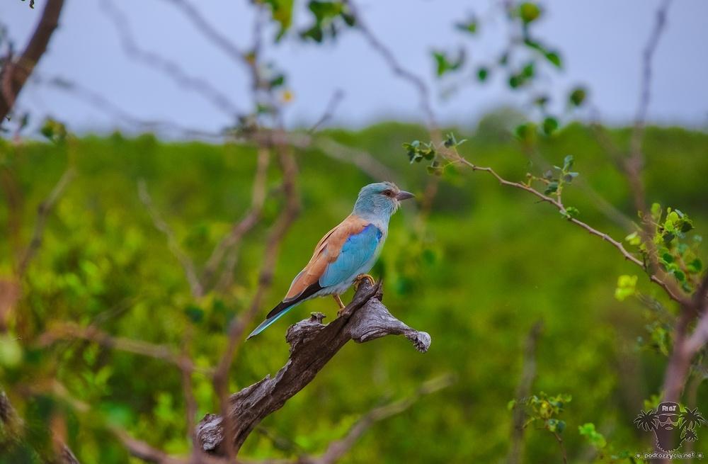 Ptak Krugera