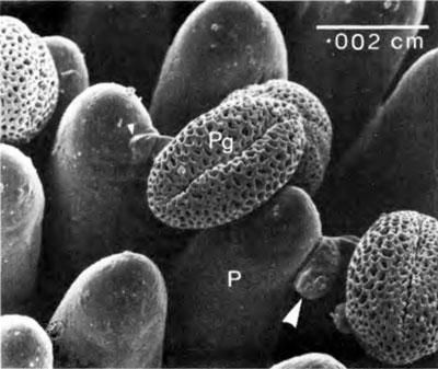 granos de polen