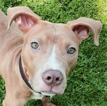 Dog For Adoption Penny A Pit Bull Terrier Amp Greyhound