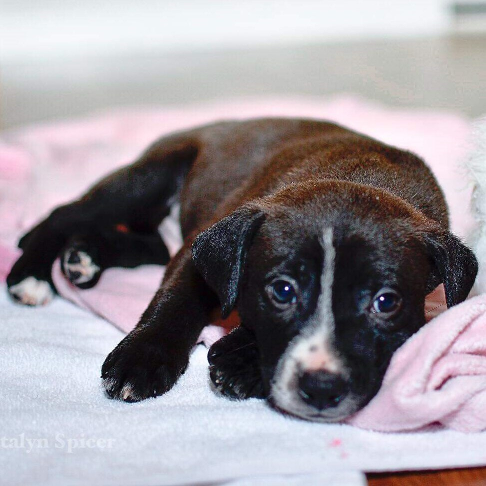 Dog For Adoption Doc A Jack Russell Terrier Mix In Bloomington IL Petfinder