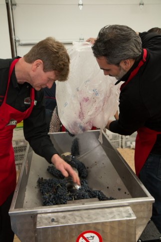Peter Pontarelli loading grapes to be destemmed and crushed