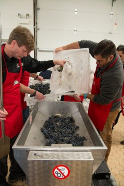 Ed Wright loading grapes to be destemmed and crushed
