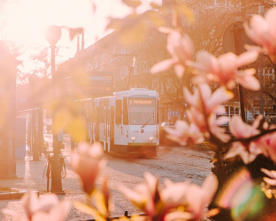 Plac Grunwaldzki Szczecin magnolie