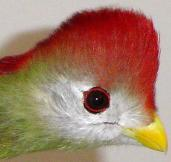 Red Crest Turaco