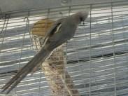 White Back Mousebird