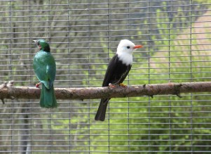 Emerald Starling and White Head Black Bulbul