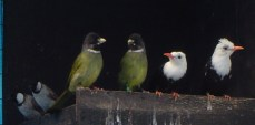 White Ear, Finchbill, White Head Black Bulbuls