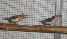 Vieillot's Barbet (Lybius vieilloti)