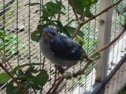 Blue Grey Tanager Chick