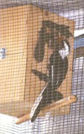 Von der Deckin Hornbill feeding female in nestbox